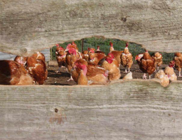 nous-poules